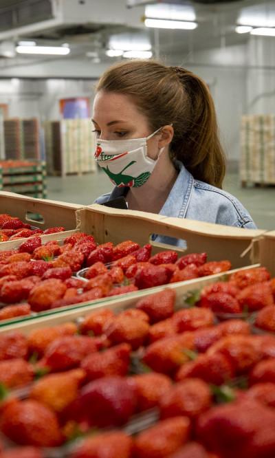 Des producteurs de fraises livrent des palettes a la cooperative Cadran de Sologne
